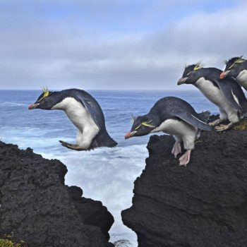 Thomas P. Peschak capturó estos pingüinos de penacho amarillo (rockhopper) saltando de una roca a otra en la costa de la isla Marion.